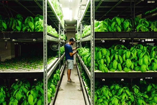led bar grow lamps for vertical farm